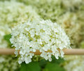 White hydrangea flowers on village fence shallow dof closeup image Royalty Free Stock Images