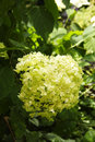 White hydrangea in the summer garden Stock Photos