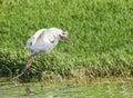 White Ibis Bird Royalty Free Stock Photo