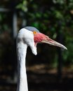 White ibis captured in zoo Stock Images