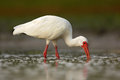 White Ibis, Eudocimus albus, white bird with red bill in the water, feeding food in the lake, Florida, USA Royalty Free Stock Photo