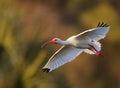 White Ibis in flight Royalty Free Stock Photo