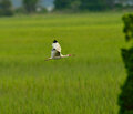 White ibis a in flight over a green marsh in summer Stock Photography