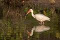 White Ibis Foraging, Merritt Island National Wildlife Refuge, Fl Royalty Free Stock Photo