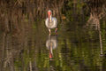 White Ibis Foraging, Merritt Island National Wildlife Refuge, Fl Royalty Free Stock Photo