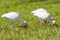 White ibis in the grass rsting Stock Photography