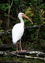 White ibis looking to the right perched on a branch Royalty Free Stock Photo