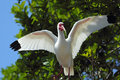 White ibis perched on a branch in a Florida wetlands. Royalty Free Stock Photo