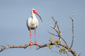 White Ibis Perched in a Tree Royalty Free Stock Photo