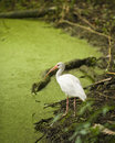 White Ibis in a Swamp Royalty Free Stock Image