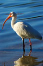 White Ibis in a water Royalty Free Stock Photo