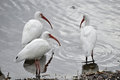 White Ibis in the Water, Florida Royalty Free Stock Photos