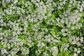 White inflorescence of first spring flowers unusual lower galilee israel Stock Images
