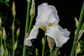White Iris Royalty Free Stock Photo