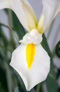 White iris detail of a and yellow flower of hollandica Royalty Free Stock Photography