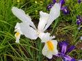 White iris flower with rain drops in garden Royalty Free Stock Photo