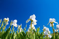 White irises on blue sky Stock Photos