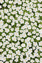 White japanese anemone Royalty Free Stock Image