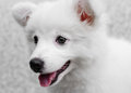 White japanese spitz puppy dog and background Stock Photos