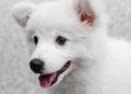 White japanese spitz puppy dog and background Stock Photos