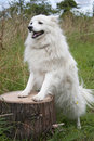 White japanese spitz standing on a log Royalty Free Stock Photos