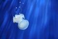 White jellyfish. Genoa aquarium, Italy. Royalty Free Stock Photo