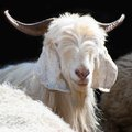 White kashmir goat from indian highland farm pashmina in ladakh Royalty Free Stock Photography