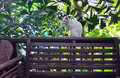 White Khao Manee cat sitting on the terrace rail
