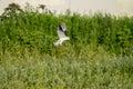 White Kite Hawk Hunting Royalty Free Stock Photo