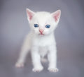White kitten cute over gray bacgraund Stock Photos