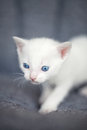 White kitten cute over gry bacgraund Royalty Free Stock Images