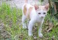 White kitten domestic walking on garden Stock Image