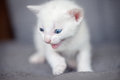 White kitten growling angry little cat Royalty Free Stock Photos