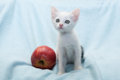 White kitten with red apple near wary looks on blue background Stock Photos