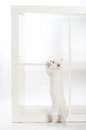 White kitten standing Stock Image