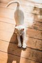 White kitten stretching on wooden floor at sunny day Royalty Free Stock Photo