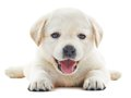 White labrador puppy one little retriever dog of one month on background Royalty Free Stock Image