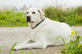 White labrador retriever dog Royalty Free Stock Images