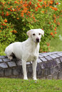 White Labrador Retriever Female Royalty Free Stock Image