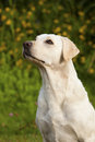 White Labrador Retriever Female Stock Images