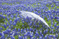 White lace parasol in a field of Texas bluebonnets