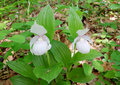 White lady s slipper in the forest in the south of primorsky krai russia Royalty Free Stock Photography