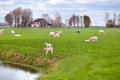 White lambs with sheep on dutch pastoral friesland Stock Images