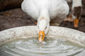 White large goose drinking water from dishes on the farm Royalty Free Stock Photo
