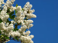 White lilac Royalty Free Stock Image