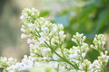 White lilac. Stock Photos