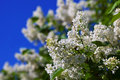 White lilac against blue sky branch in spring Royalty Free Stock Photo