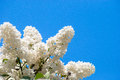 White lilac in blue sky at bright daylight Stock Photos