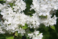 White lilac garden in outdoor lights Stock Photo