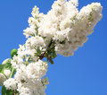 White lilac with leaves on a blue sky Royalty Free Stock Photo